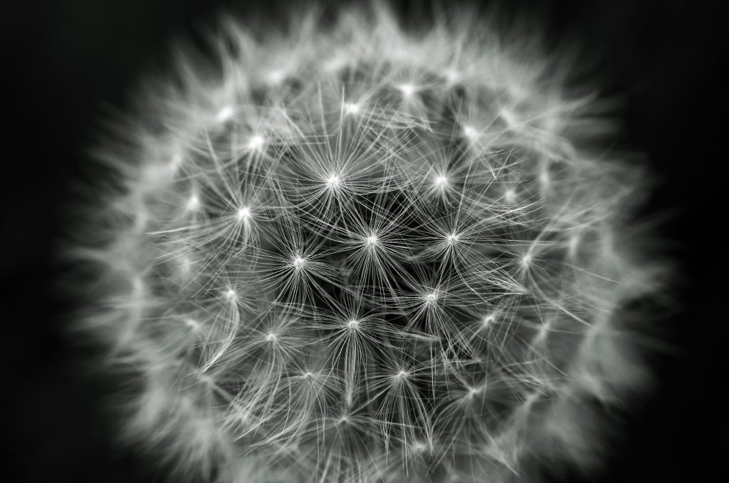 _absolutely_free_photos_original_photos_dandelion-3000x1987_13914